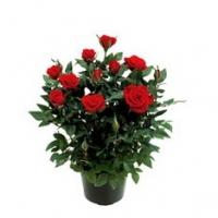 Роза Кардана №10