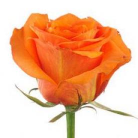 Роза Уау