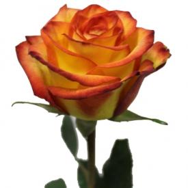 Роза Хай Йелоу